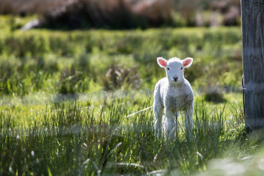 adopte un mouton